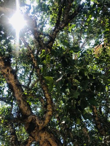cümbez ağacı - nes-OymTO