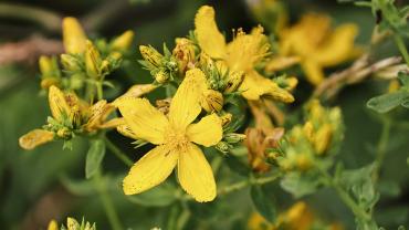 sarı kantaron - nes-eaAJ7