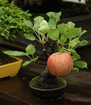 bonsai - son-ortadogu-bukucu-ClSw4