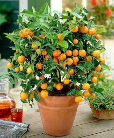 bonsai - son-ortadogu-bukucu-hbgKi